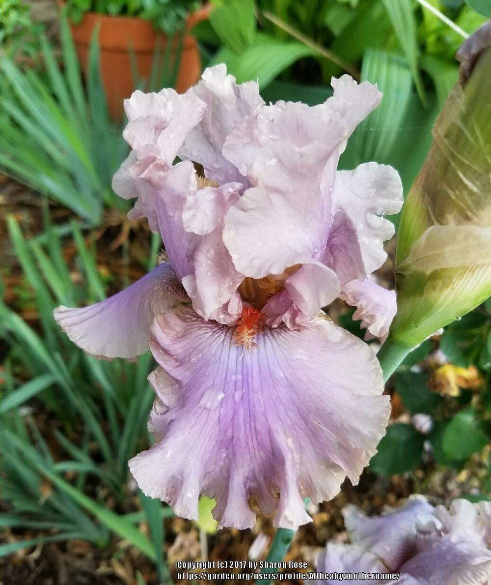 Photo of Tall Bearded Iris (Iris 'Stop Flirting') uploaded by Altheabyanothername