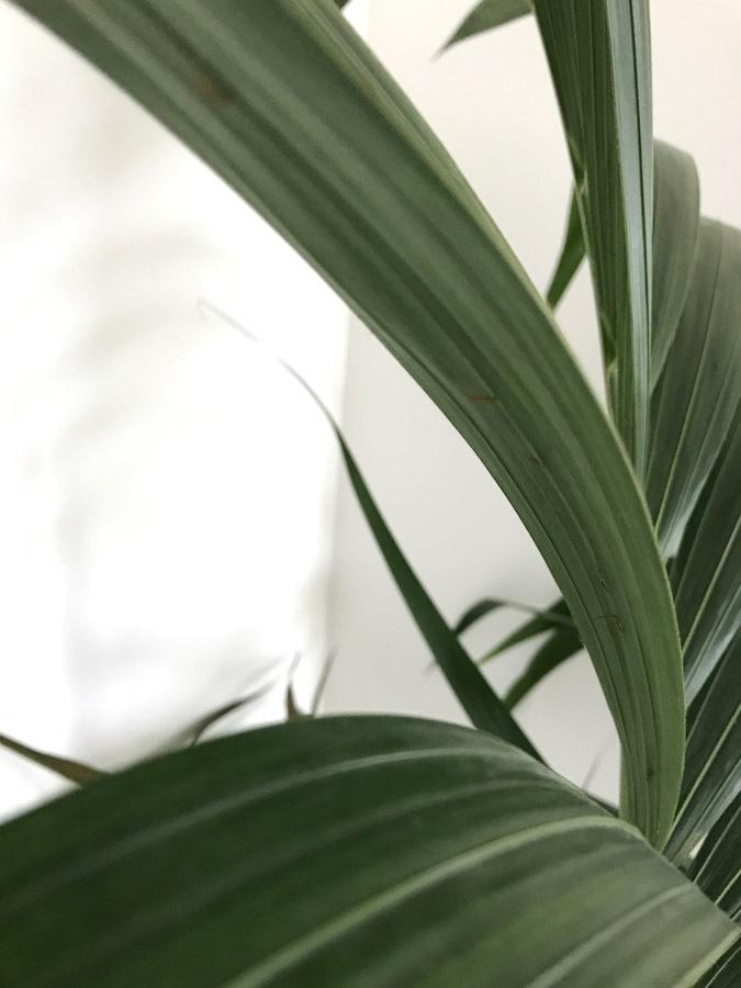 a5d77d Palm House Plant Root Rot on house plant mold, house plant leaf spots, corn house plant rot, house plant snails, house plant fungus, house plant leaf blight, house plant insects, house plant scale, house plant nutrient deficiency, house plant caterpillars, house plant virus,