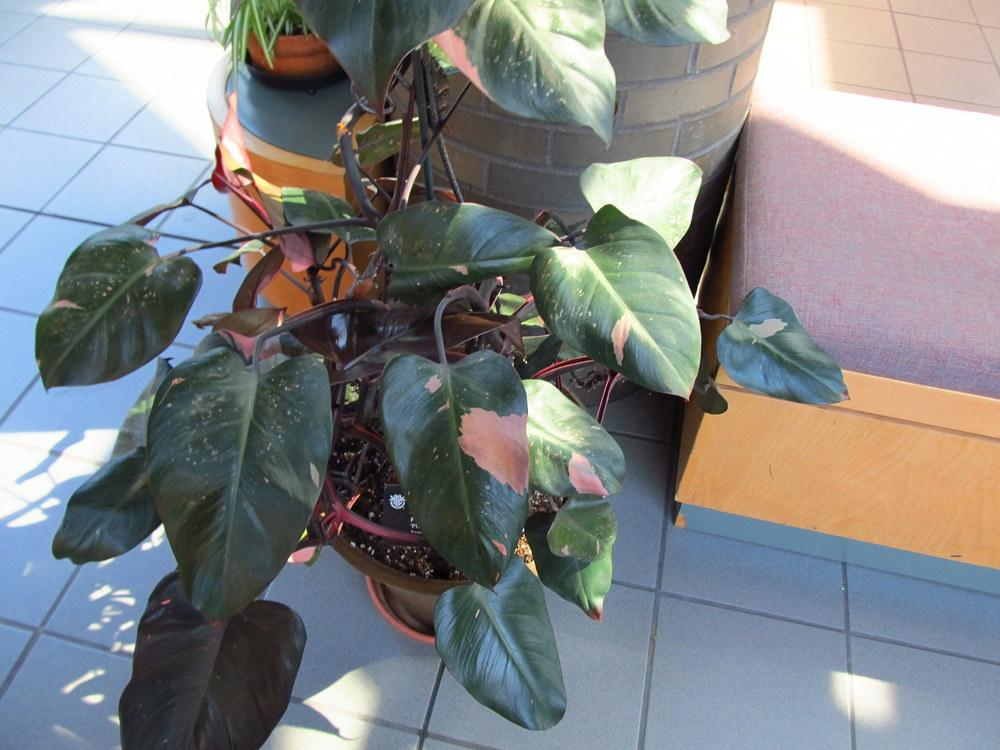 Photo of Blushing Philodendron (Philodendron erubescens 'Pink Princess') uploaded by jmorth