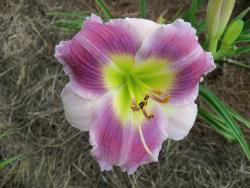 Daylilies Forum What Is Are Your Favorite Bitone Bicolor