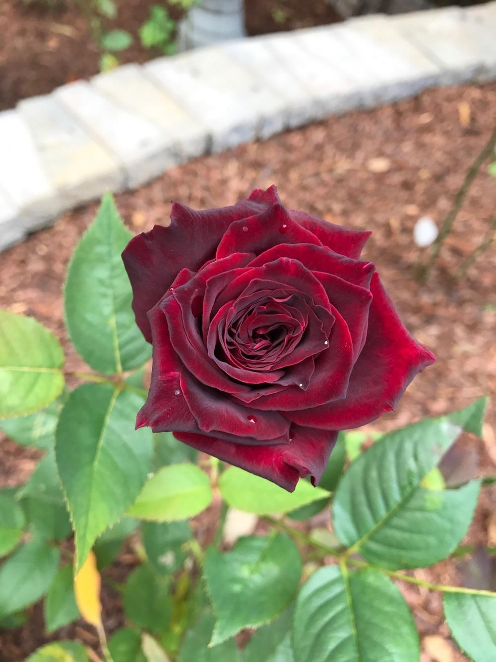 Photo of Rose (Rosa 'Black Baccara') uploaded by Eric_C