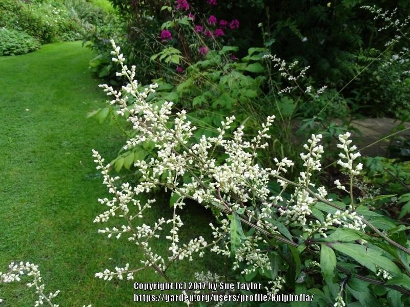 Plant ID forum: Tall perennial with small white flowers - Garden.org