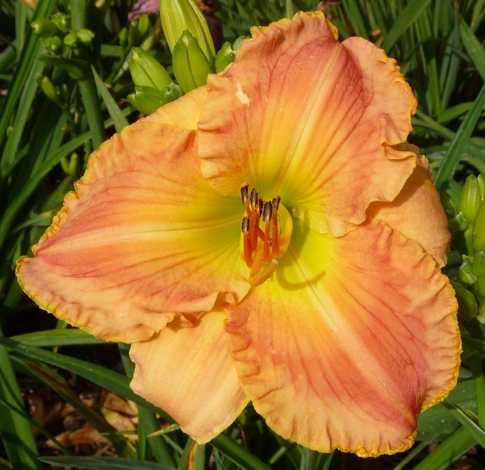 Photo of Daylily (Hemerocallis 'Honey on My Lips') uploaded by twixanddud