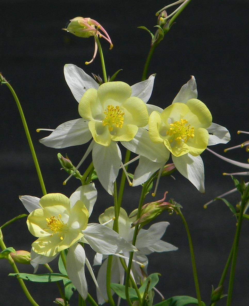 Columbines plant care and collection of varieties garden add or edit informational text about this plant izmirmasajfo