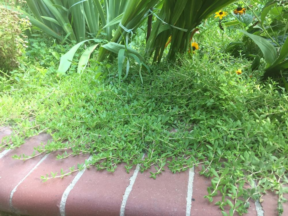 Plant Id Forum Soft Thick Ground Cover, Soft Ground Cover