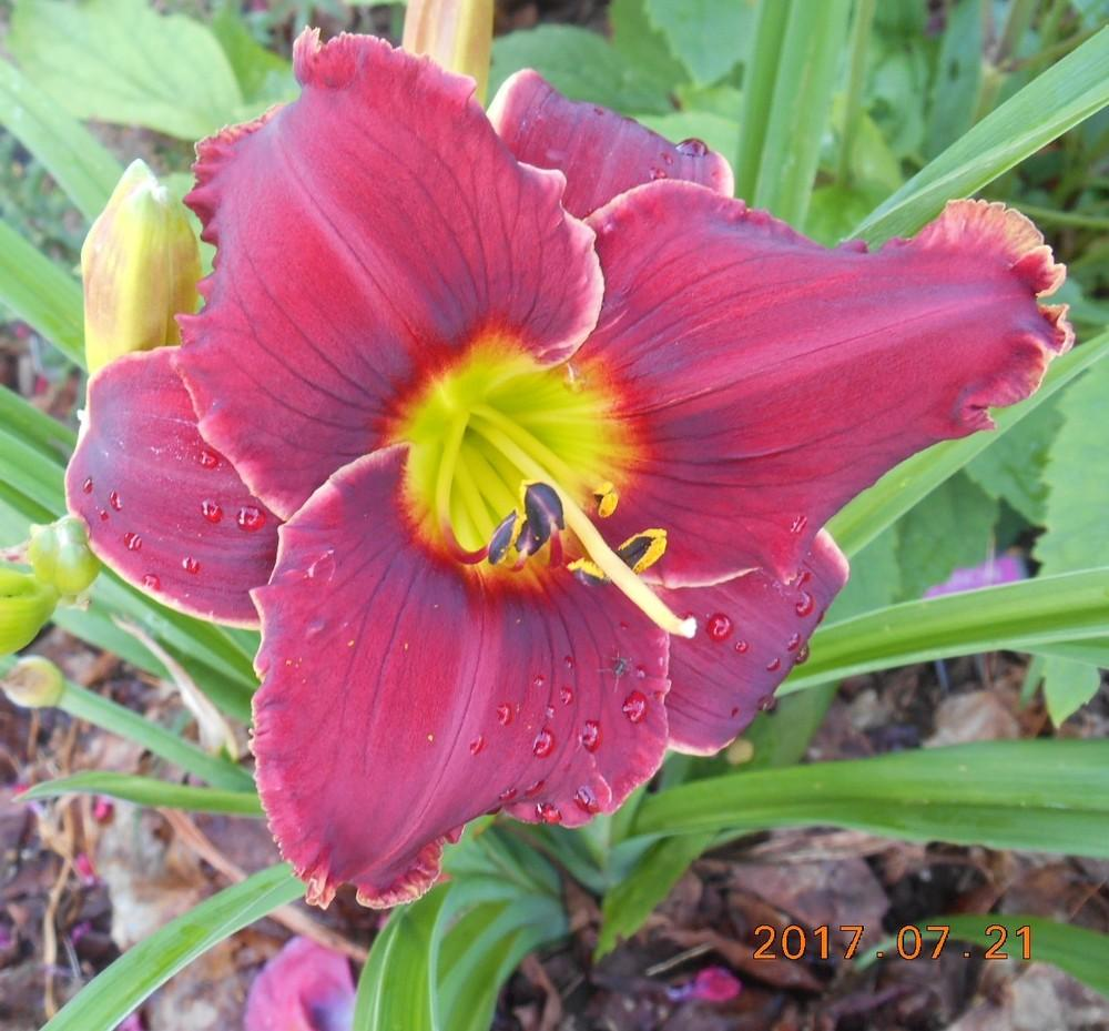 Photo of Daylily (Hemerocallis 'Roses in Snow') uploaded by Raven
