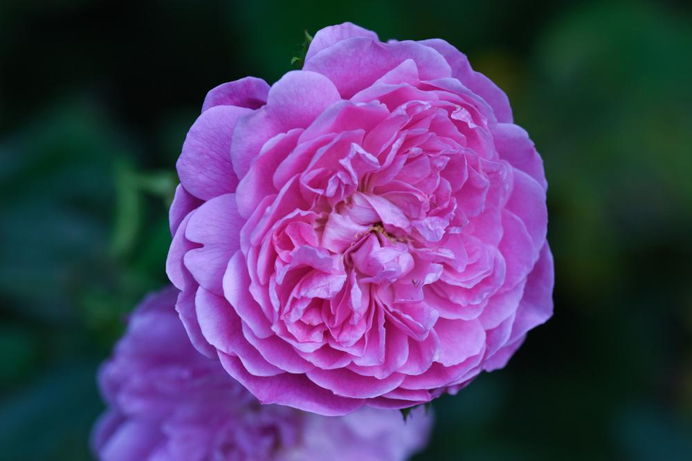 Photo of Rose (Rosa 'Harlow Carr') uploaded by cliftoncat
