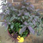 Location: Orangeburg, SCDate: 2015-11-22Persian Shield in a pot with tropical hibiscus