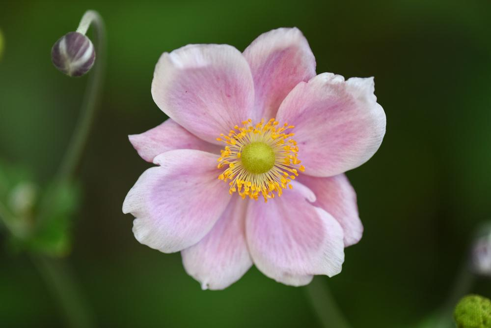 Anemones Plant Care and Collection of Varieties Gardenorg