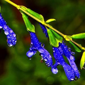 Blue Salvia With Dewdrops 005