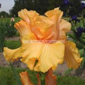 Location: Beaumont Ridge Iris GardensDate: May 2005