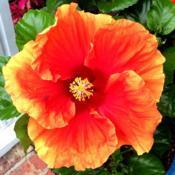 Location: My garden, central NJ, Zone 7ADate: 2017-08-29Tropical Hibiscus - Imperial Dragon