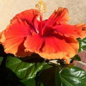 Location: My garden, central NJ, Zone 7ADate: 2017-08-30Tropical Hibiscus Imperial Dragon - Another View