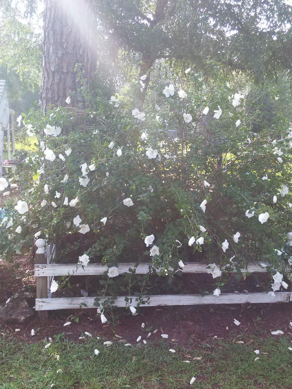 Photo Of The Entire Plant Of Rose Of Sharon Hibiscus Syriacus