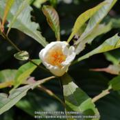 Location: My garden in N E Pa. Date: 2017-08-30Flowers began to open.  If you noticed the leaf-cutter
