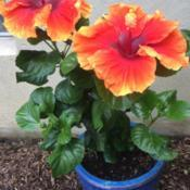 Location: My garden, central NJ, Zone 7ADate: 2017-08-31Tropical Hibiscus Imperial Dragon - Entire Plant