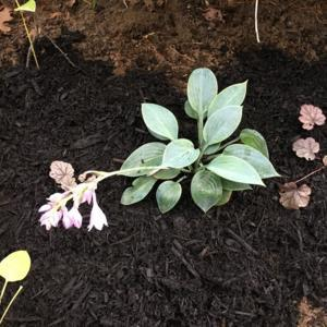 Newly planted...when planted with greener Hosta, looks powder blu