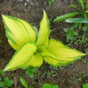 Location: Nora's Garden - Castlegar, B.C.Date: 2014-05-21 3:54 pm. It really is a 'showy' plant. Thus it was called 'On St