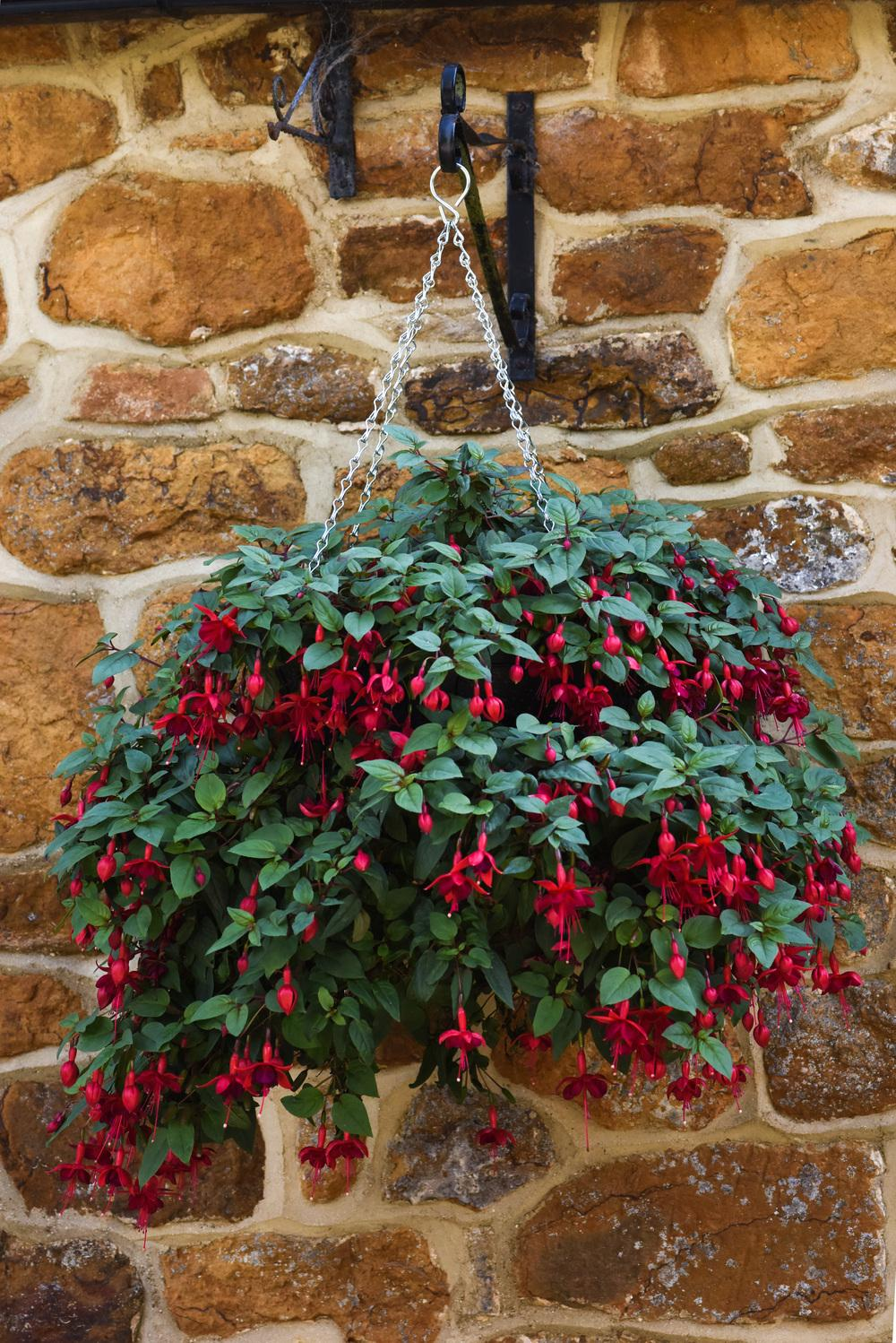 Photo of Fuchsia 'Marinka' uploaded by cliftoncat