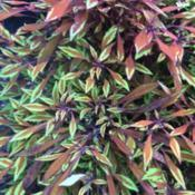 Location: My garden, central NJ, Zone 7ADate: 2017-08-31Brady's Fancy Feathers Copper Coleus