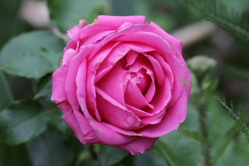 Photo of Rose (Rosa 'Beverly') uploaded by RuuddeBlock