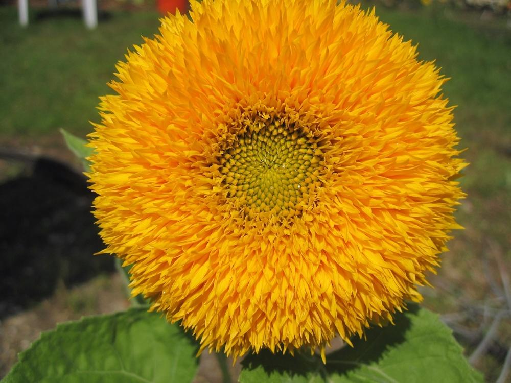 Photo of Sunflower (Helianthus annuus 'Teddy Bear') uploaded by robertduval14