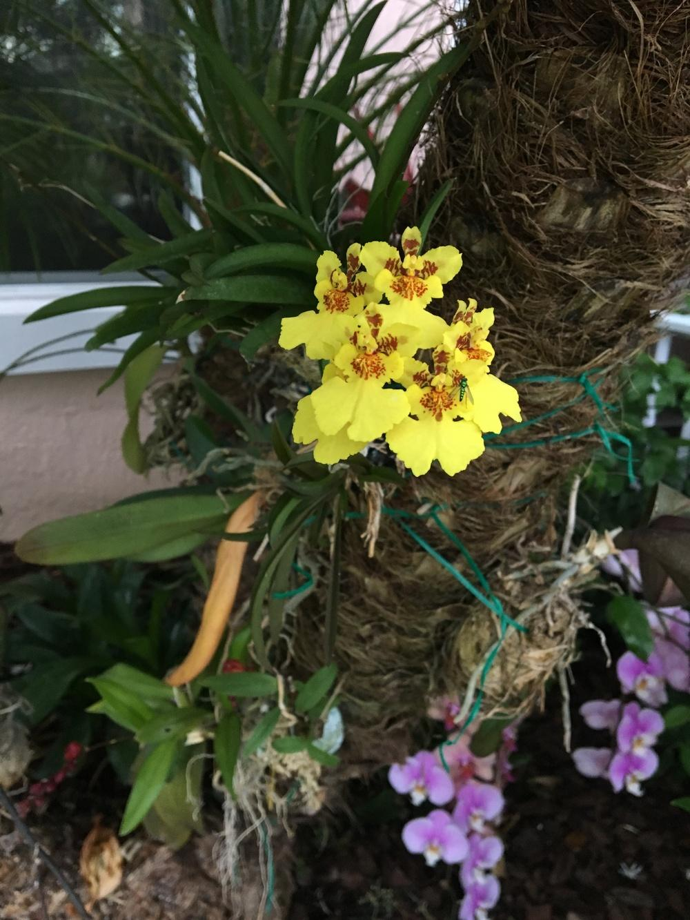 Protection For Tree Mounted Orchids For Hurricane Irma
