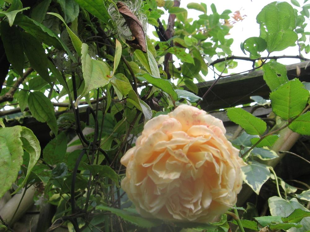 Photo of Rose (Rosa 'Crown Princess Margareta') uploaded by Yorkshirelass