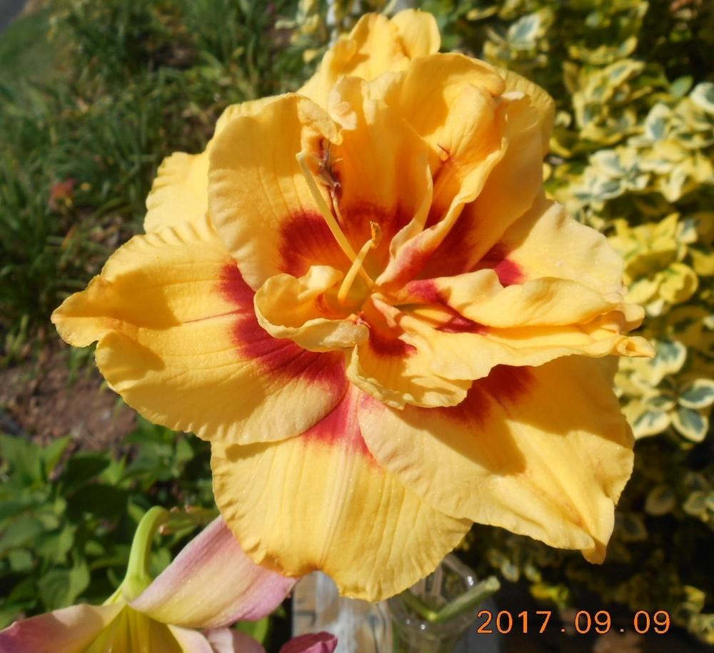 Photo of Daylily (Hemerocallis 'Topguns Lola Scott') uploaded by Raven