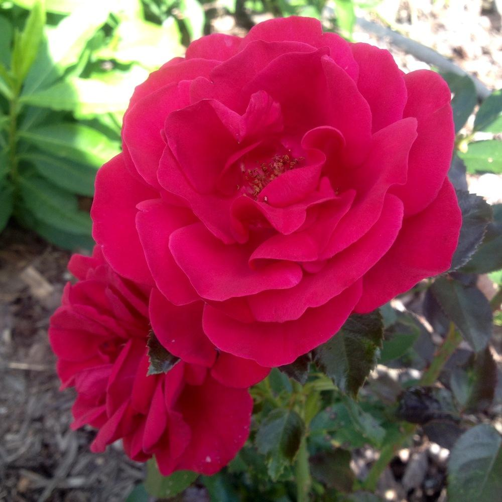 Photo of Roses (Rosa) uploaded by csandt