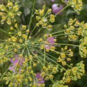 Location: Athol, MADate: 2017-09-07Dill flowers after a rain
