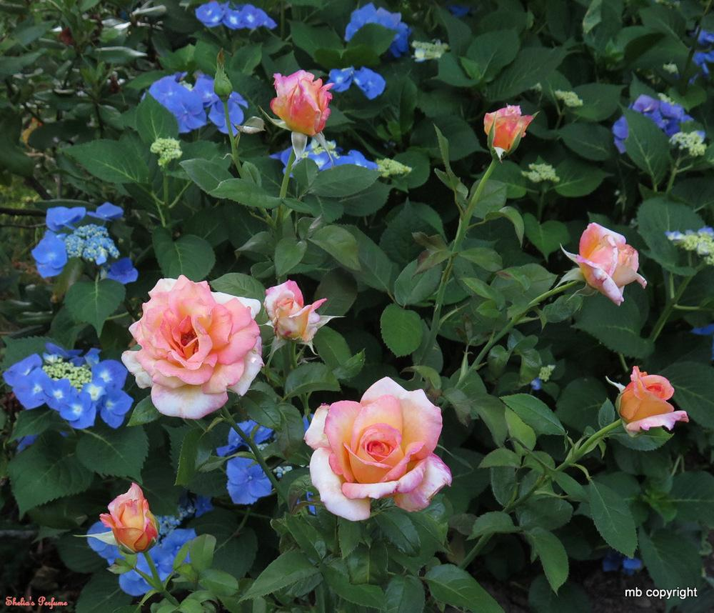 Photo of Rose (Rosa 'Sheila's Perfume') uploaded by MargieNY