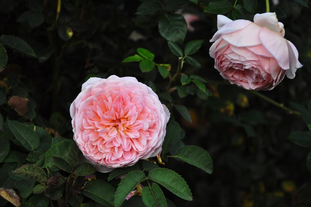 Photo of Rose (Rosa 'Abraham Darby') uploaded by Steve812