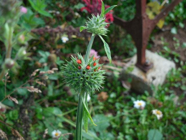Photo of Lion's Ear (Leonotis nepetifolia) uploaded by wcgypsy