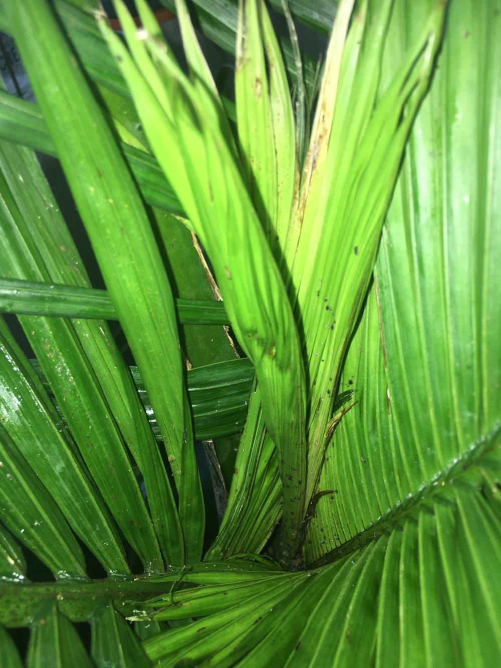 Majestic palm pest - Knowledgebase Question - Garden org