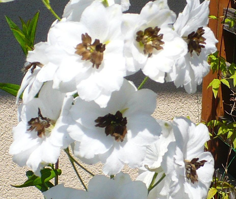 Photo of Delphinium 'Percival' uploaded by HemNorth