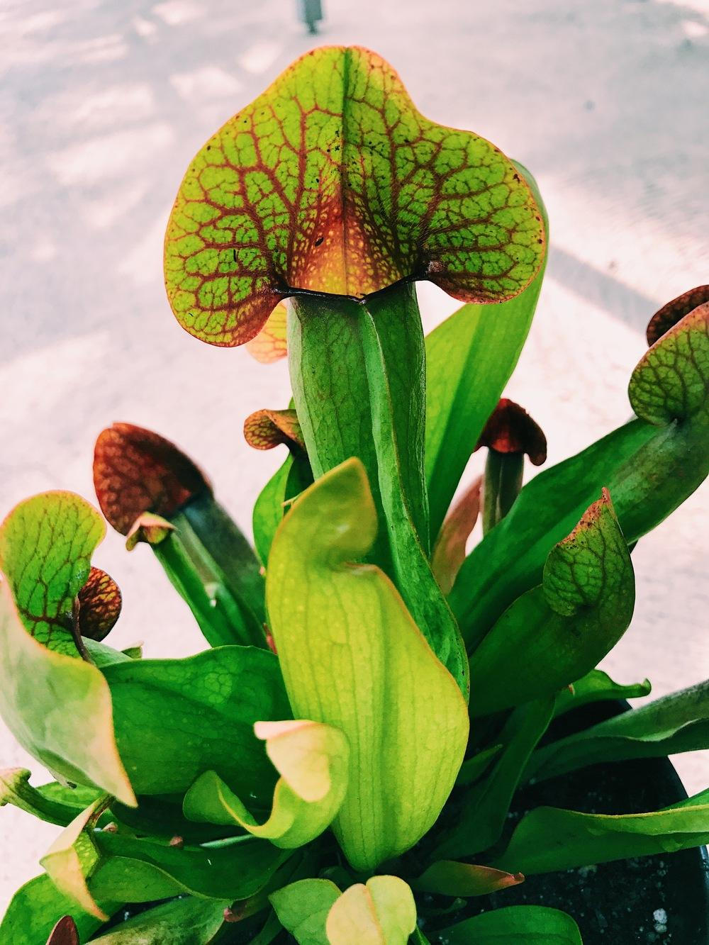 Photo of Catesby's Pitcher Plant (Sarracenia x catesbaei) uploaded by ljones26