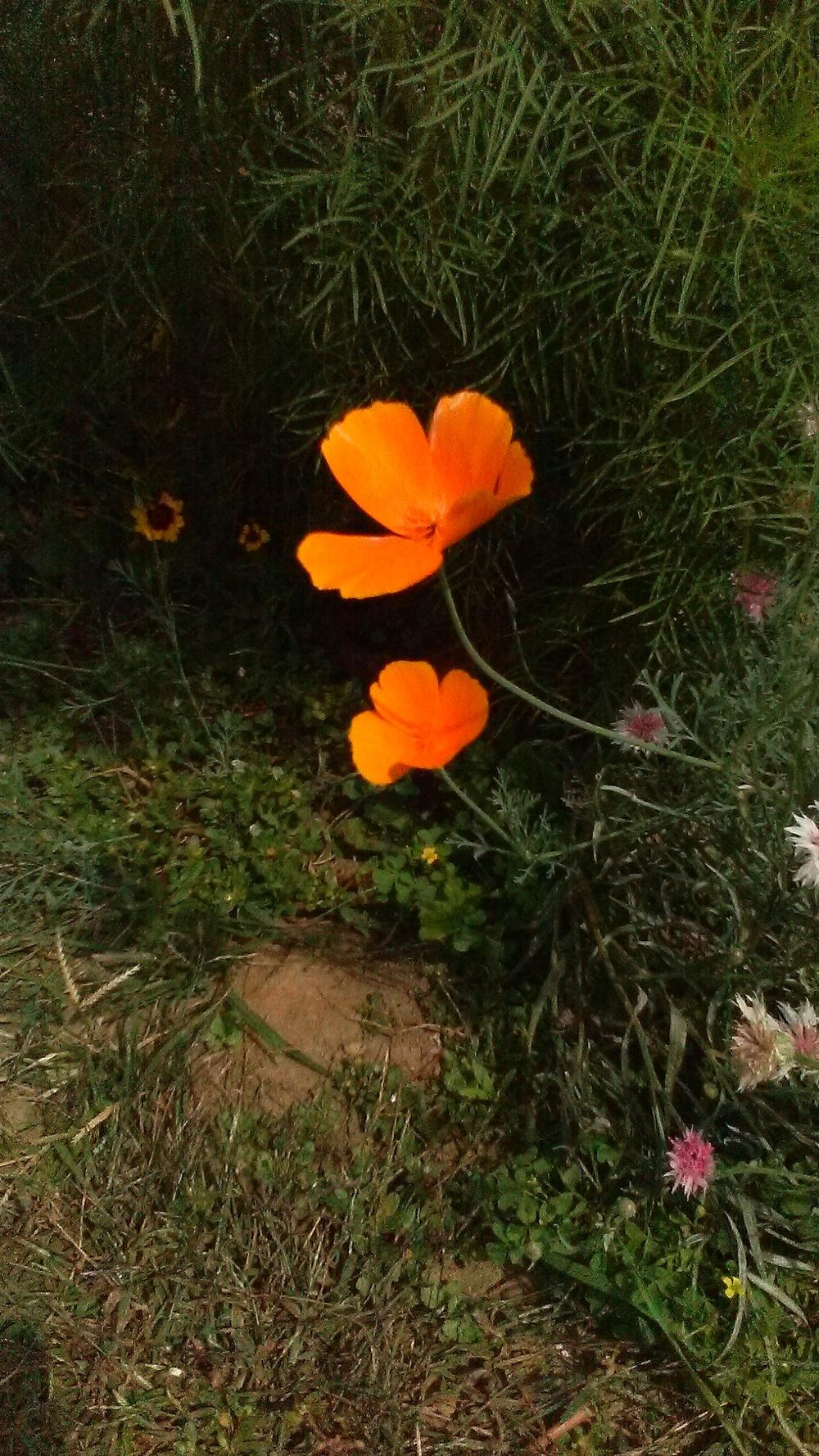 Photo of California Poppy (Eschscholzia californica) uploaded by m33jones2