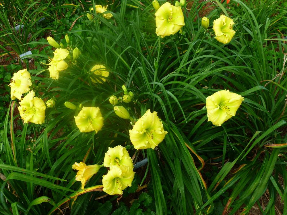 Photo of Daylily (Hemerocallis 'Siloam Amazing Grace') uploaded by BradKY