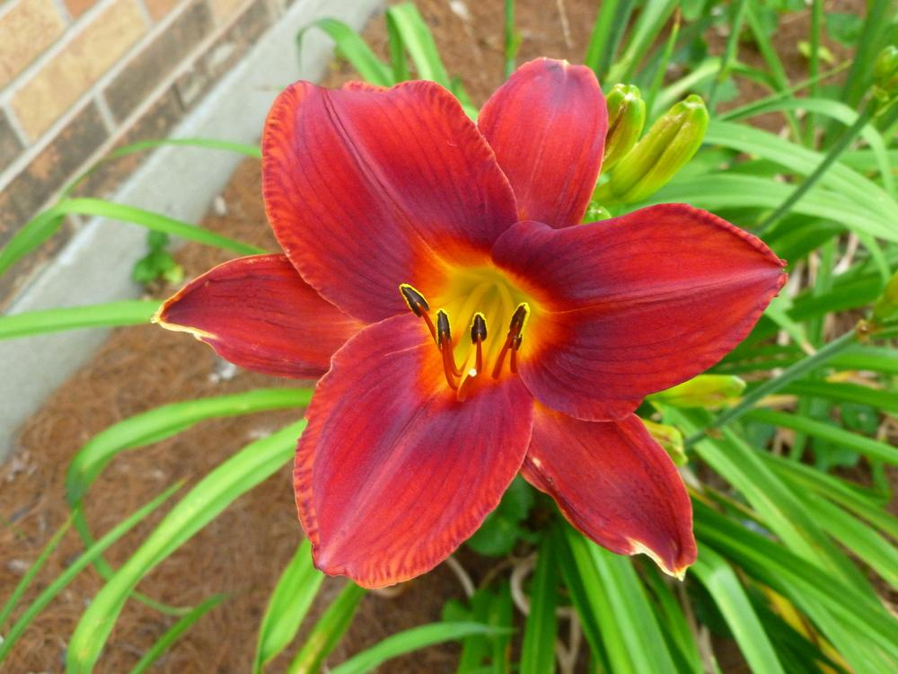 Photo of Daylily (Hemerocallis 'Christmas Day') uploaded by BradKY
