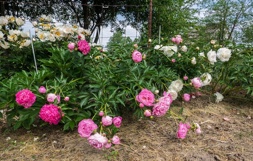 Photo Of Chinese Peony (Paeonia Lactiflora U0027Dr. Alexander Flemingu0027)  Uploaded By