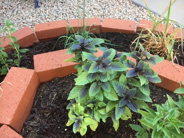Photo of Purple Basil (Ocimum basilicum 'Purple Delight') uploaded by LizDTM