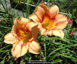 Thumb of 2017-09-14/daylilly99/406290