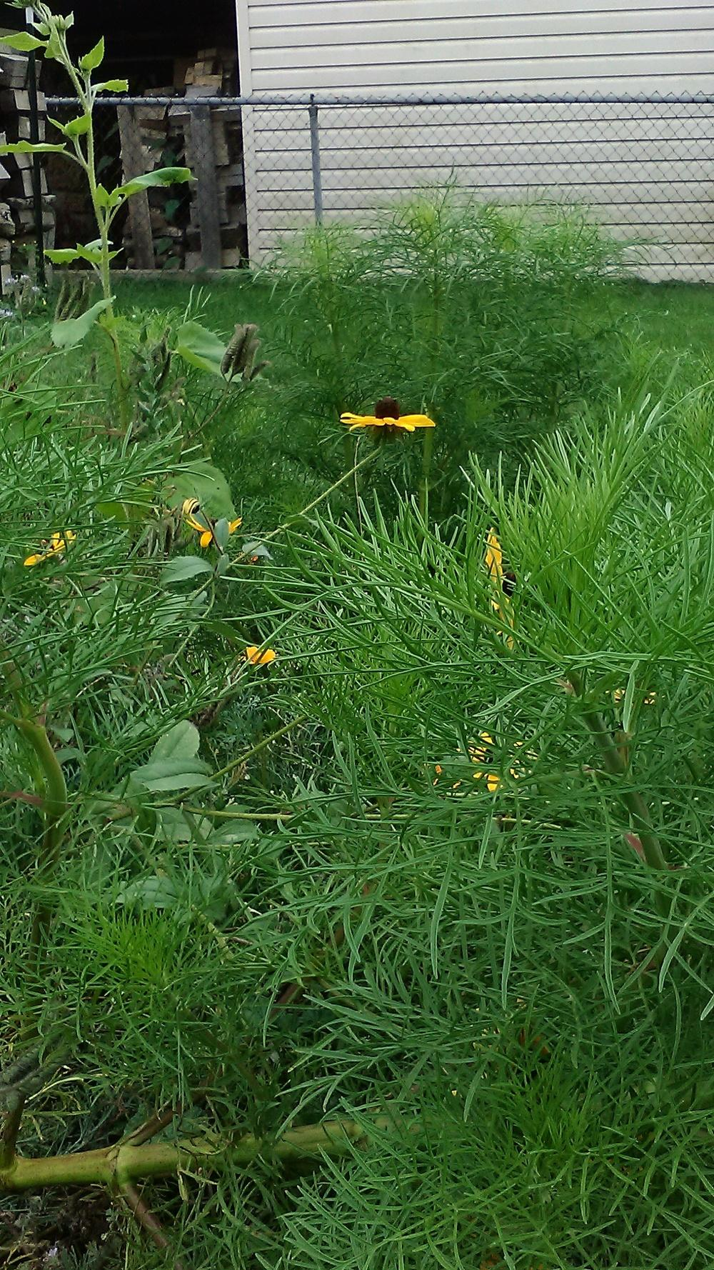 Photo of Black Eyed Susans (Rudbeckia) uploaded by m33jones2
