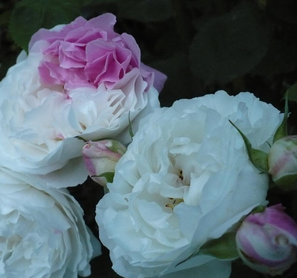 Photo of Rose (Rosa 'Winchester Cathedral') uploaded by HemNorth