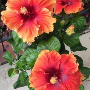 Tropical Hibiscus Imperial Dragon