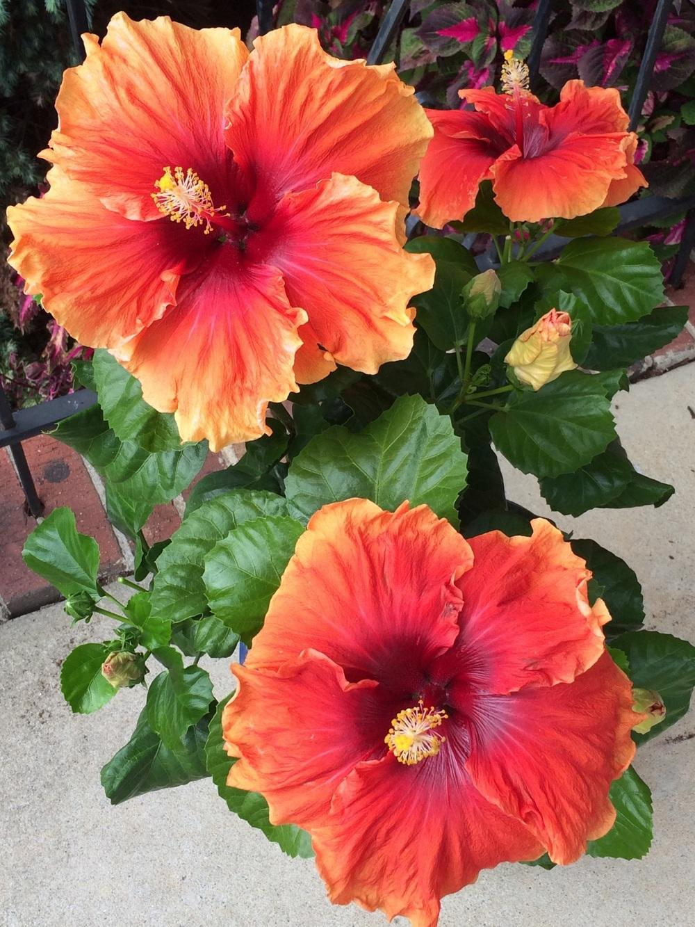 Photo of Tropical Hibiscus (Hibiscus rosa-sinensis 'Imperial Dragon') uploaded by Njiris