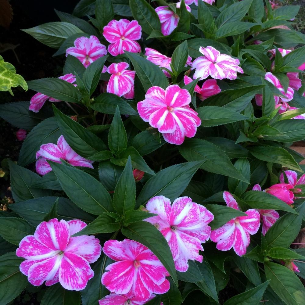 Photo of New Guinea Impatiens (Impatiens hawkeri Sonic® Magic Pink) uploaded by Njiris