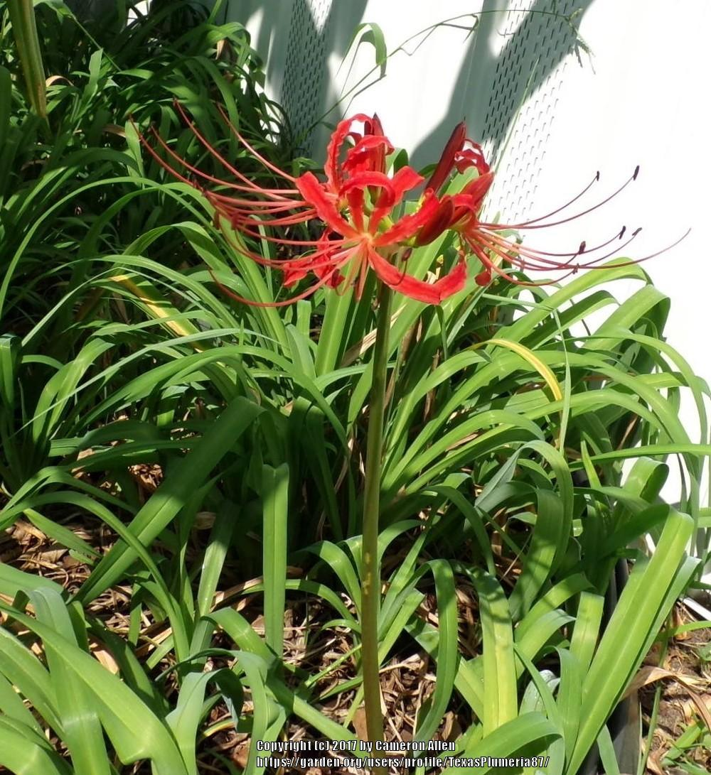 Photo Of The Bloom Of Red Spider Lily (Lycoris Radiata