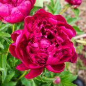 "Location: Clinton, Michigan 49236Date: 2017-09-15""Paeonia 'Kansas', 2017, (2-DB-R) Chinese or lactiflora [Peony],"